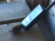 Feral mouse trying to operate a satellite phone, Sweden, 2019